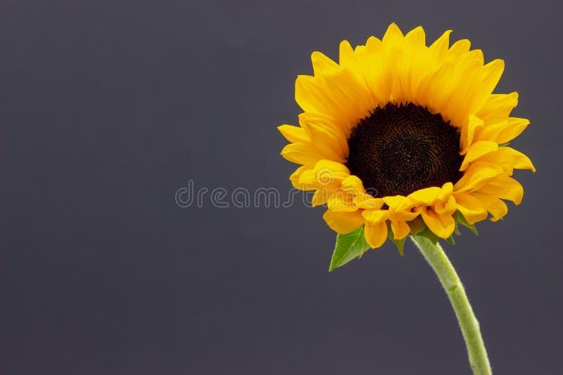 Подсолнечник, декоративный цветок солнцецвета на предпосылке темной предпосылки флористической стоковые изображения