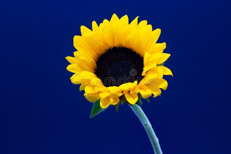 Подсолнечник, декоративный цветок солнцецвета на предпосылке темной предпосылки флористической стоковые изображения rf