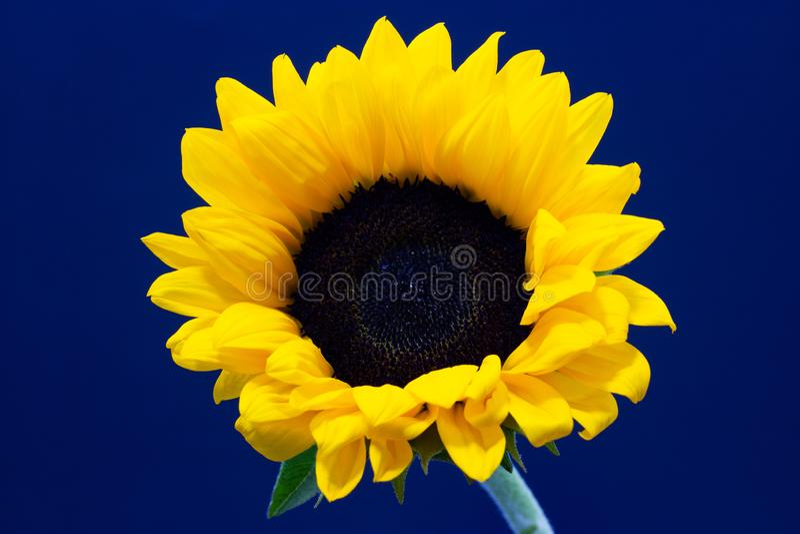 Подсолнечник, декоративный цветок солнцецвета на предпосылке темной предпосылки флористической стоковые фотографии rf