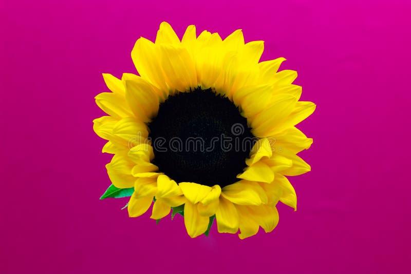 Подсолнечник, декоративный цветок солнцецвета на предпосылке предпосылки пинка флористической стоковые фото