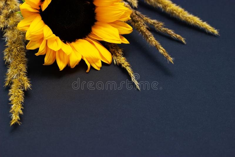 Подсолнечник, яркий желтый солнцецвет с хлопьями на предпосылке темной предпосылки флористической стоковая фотография