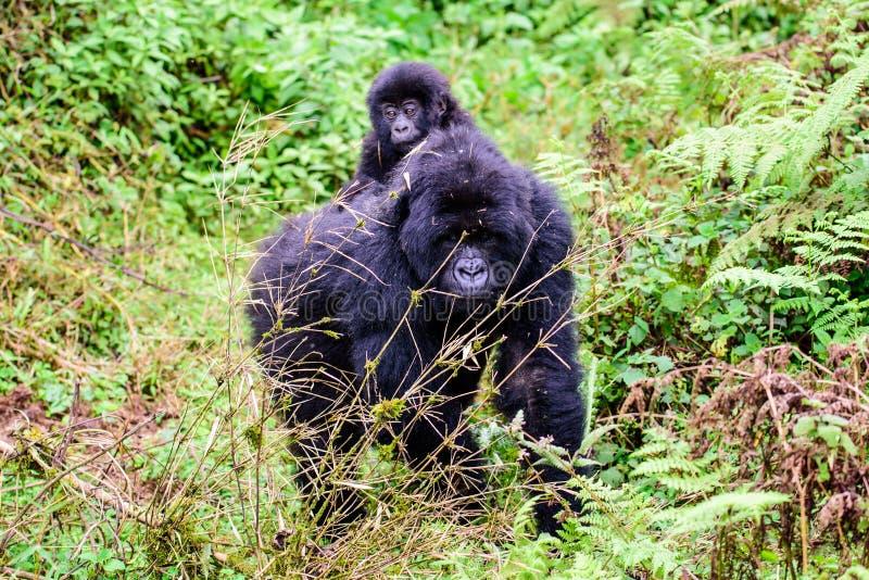 Подход к гориллы горы матери и младенца стоковые изображения