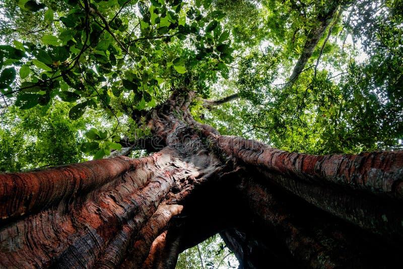 Под взглядом огромного millenary дерева в нетронутом тропическом лесе Суматры стоковые изображения