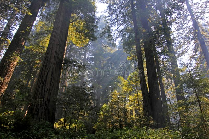 Под деревьями redwood в парке Natianol Redwood, Калифорния, США, задняя светлая фотография стоковые фото