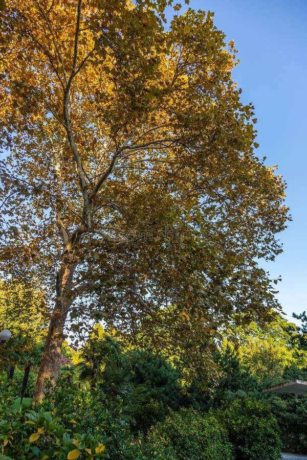 Пожелтетые листья на дереве явора в саде Сочи ботаническом Россия стоковое изображение rf