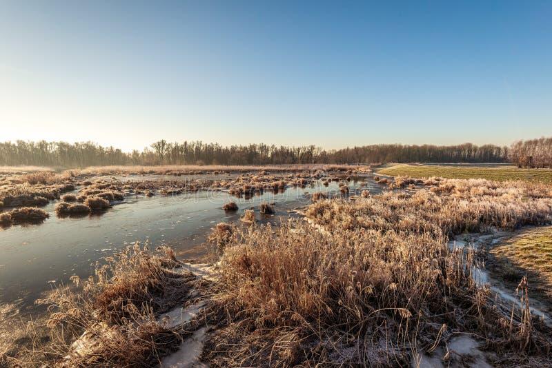 Пожелтетые тростники и спешка в солнечном свете раннего утра стоковое фото