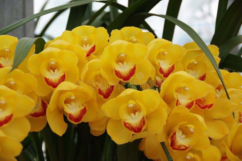Пожелтейте орхидею стоковое изображение