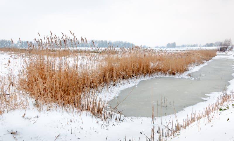 Пожелтетые тростники вокруг замороженной воды стоковые фото