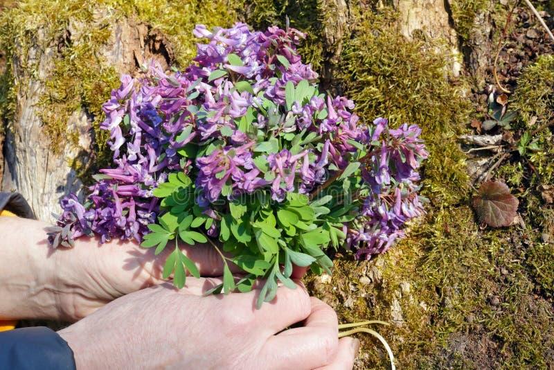 Пожилая женщина нежно держать в руках первый макрос цветков фиолета древесины весны стоковые фото