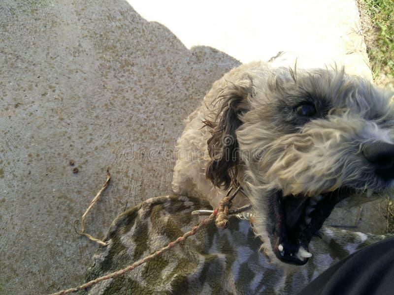 Пожилая собака поя для меня стоковая фотография rf