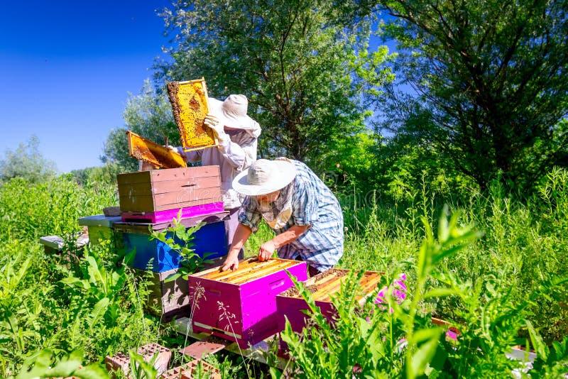 2 пожилых apiarists, beekeepers проверяют пчел на соте стоковое изображение