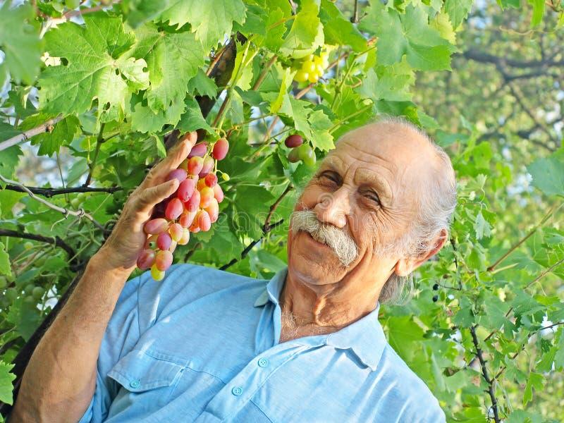 Пожилой счастливый человек держит зрелую виноградину. стоковое фото rf