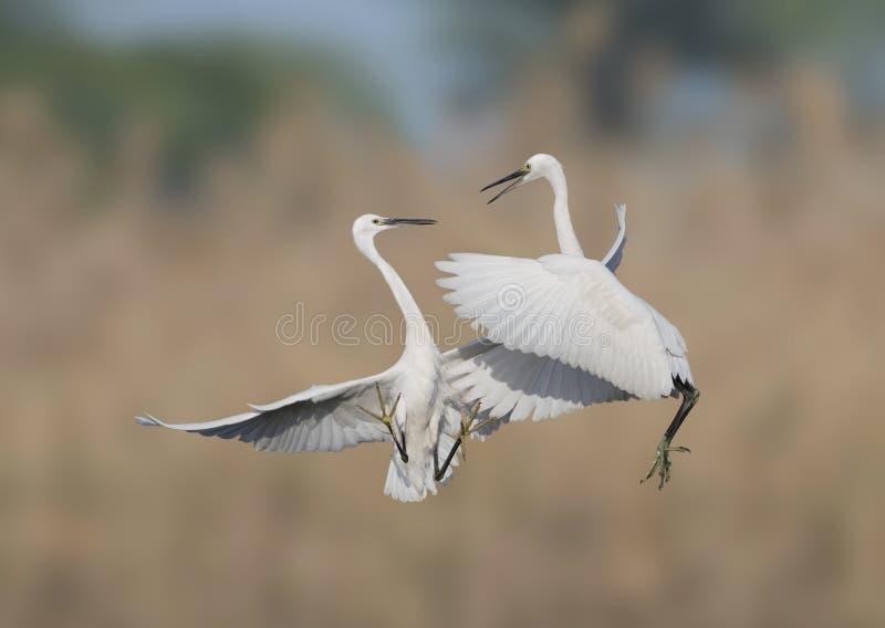 Позволяет бою - бою egrets