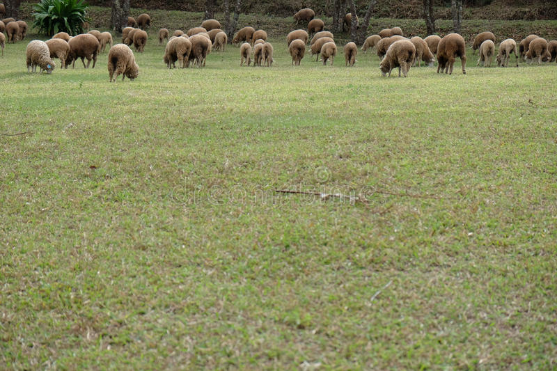 Позволяют пасти овце стада стоковые изображения rf