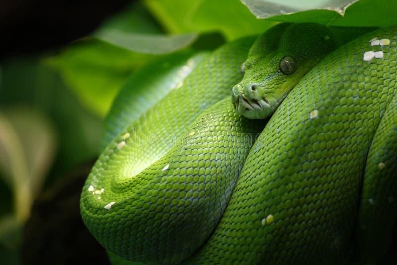позеленейте вал питона стоковое фото rf