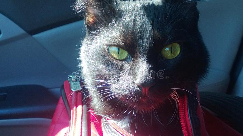 Позеленейте наблюданный хлопать ` s кота головной из сумки нося стоковая фотография