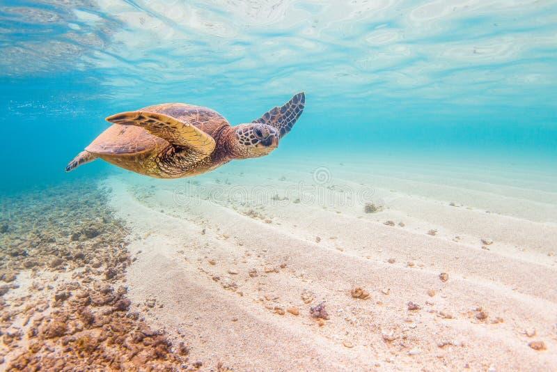 позеленейте гаваискую черепаху моря стоковое фото