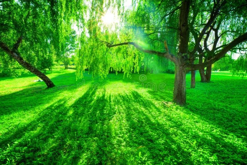 позеленейте лето парка Солнце светя через деревья, листья стоковое изображение