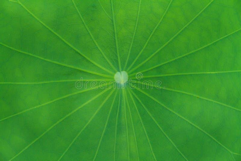позеленейте лотос листьев стоковое изображение