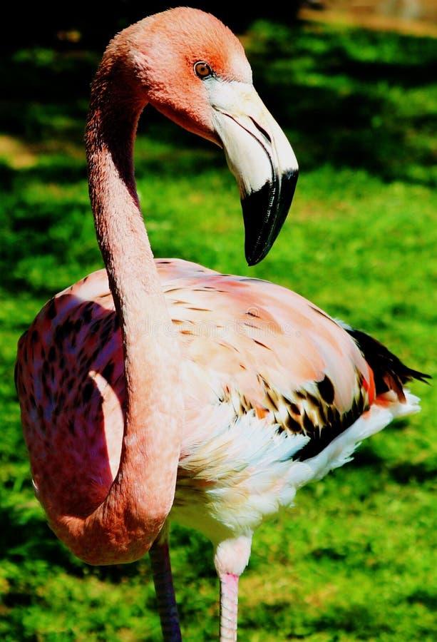 Позиция фламинго стоковые фотографии rf