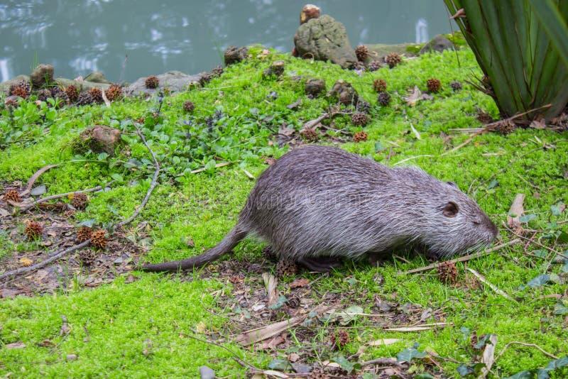 Поиск Nutria для еды около реки, вредного животного Дикое nutria обитает в прудах и реках стоковая фотография