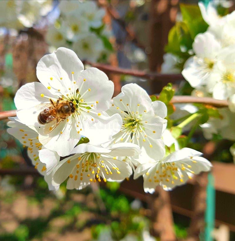 Показано изображение aspicot сидя на белом цветке дерева Цветковые растения с произнесенными желтыми пестиками и stame стоковые фото
