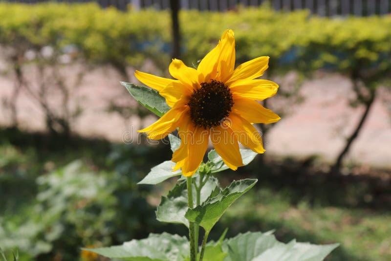 Пока живой, сильный солнцецвет узнанное всемирно для своей красоты стоковые фото