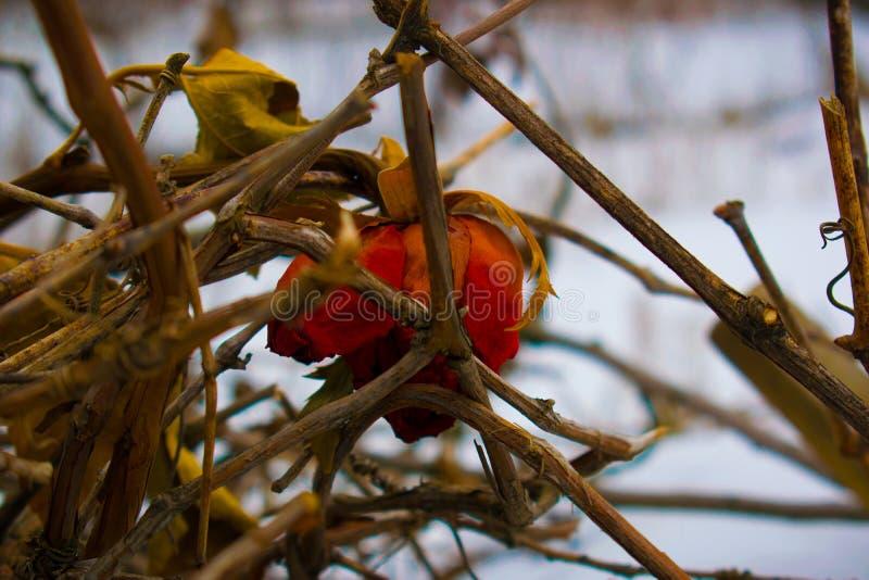 Покидать, сиротливый, вянуть, красная роза в зиме в снеге стоковая фотография rf