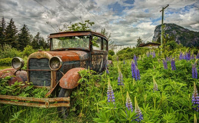 Покинутый старый автомобиль в фиолетовом поле Lupine стоковая фотография rf