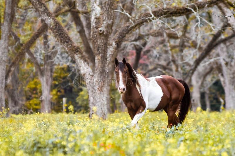 Покрасьте лошадь пася в роще пекана стоковая фотография rf