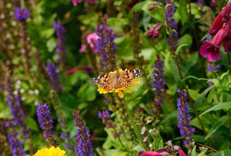 Покрашенная бабочка дамы среди цветков сада стоковое изображение