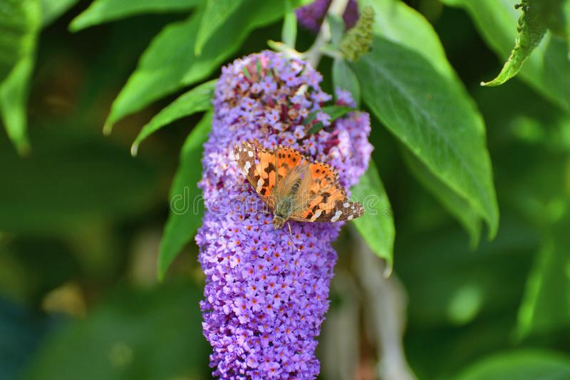 Покрашенная бабочка дамы наслаждаясь нектаром от цветения куста бабочки стоковое изображение