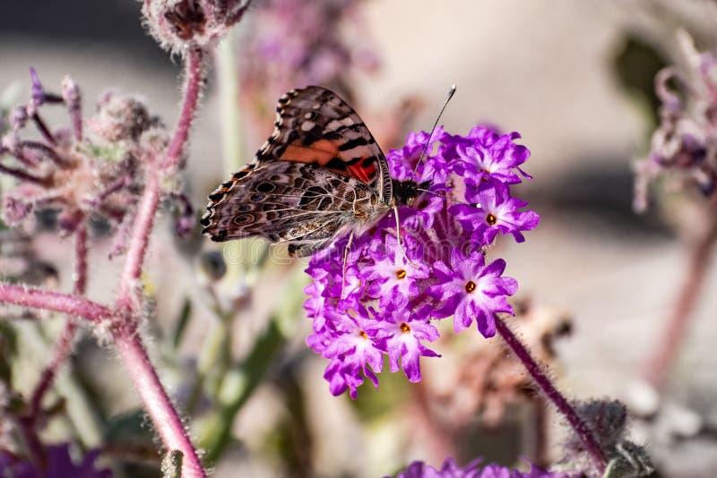 Покрашенная бабочка на wildflower Villosa Abronia вербены песка, парк штата cardui дамы Vanessa пустыни Anza Borrego, юг стоковое фото rf