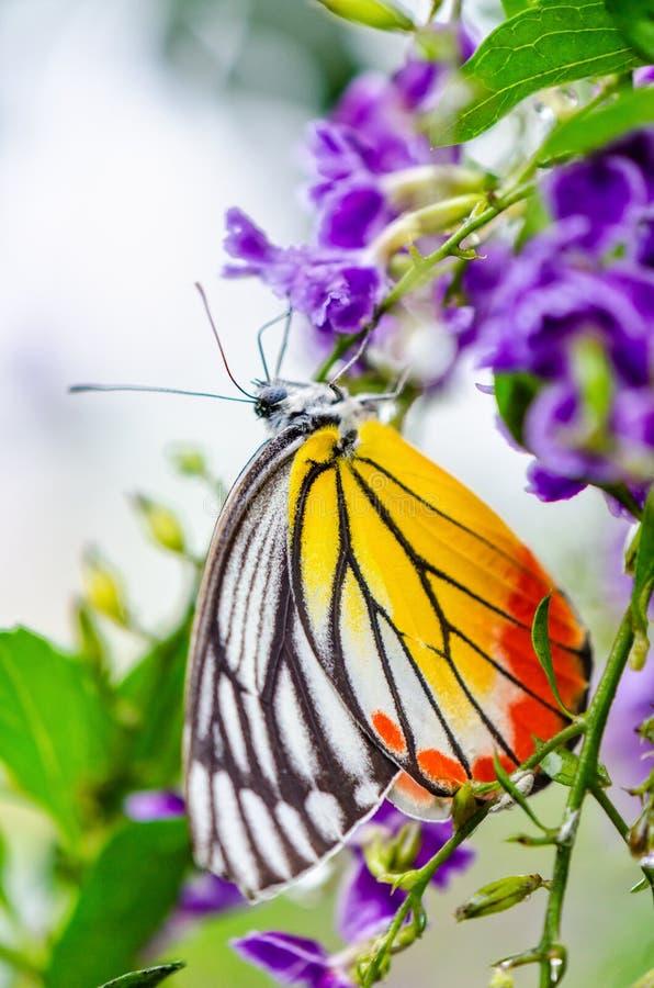 Покрашенная бабочка Jezebel красочная стоковая фотография