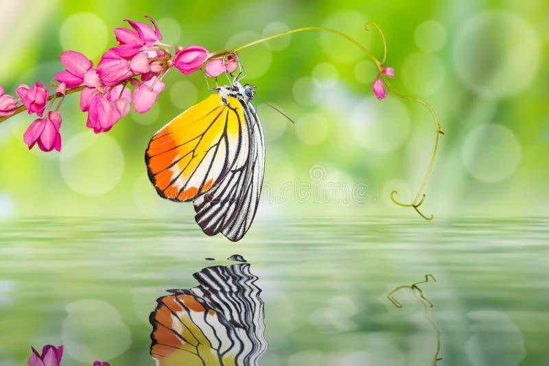Покрашенная бабочка Jezebel стоковые фотографии rf