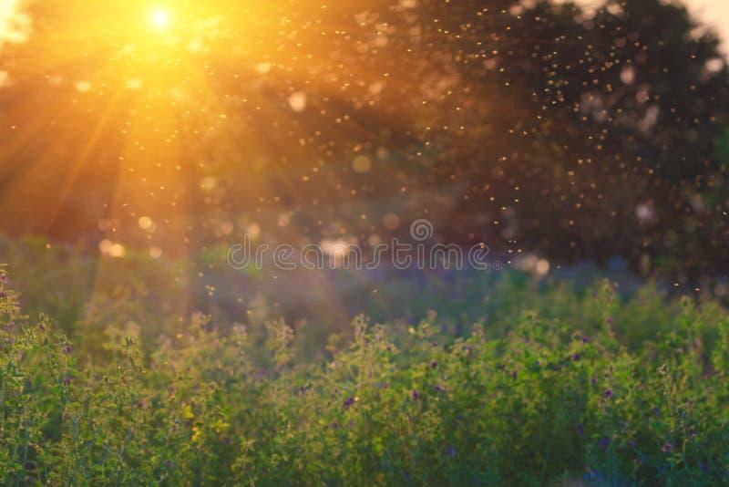 покрашенная иллюстрация руки сделала лето природы Луг ландшафта на заходе солнца Стадо москитов стоковое фото