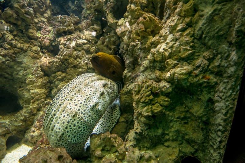 покрашенная мурена (Muraena) засовывая его голову и часть тела в crevice в камнях стоковые фотографии rf