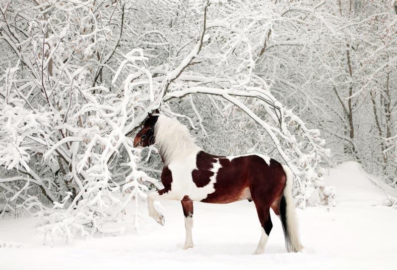 Покрашенная лошадь в снежном лесе стоковая фотография rf
