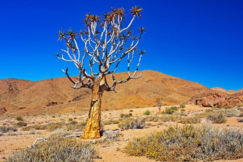 Покрашенное золотом дерево колчана Kokerboom стоковое изображение rf