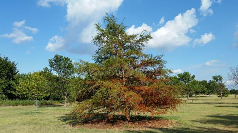 Покрашенное осенью дерево кедра стоковое фото rf