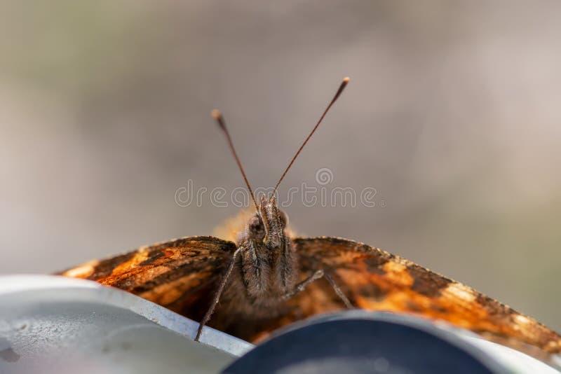 Покрашенное cardui Ванессы бабочки дамы стоковые фотографии rf