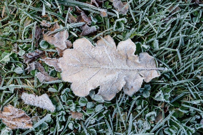 Покрашенные листья дуба Морозные коричневые листья осени Предпосылка окружающей среды стоковые изображения rf