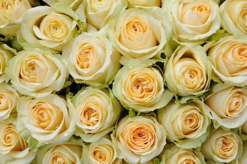 покрашенные cream розы стоковые фото