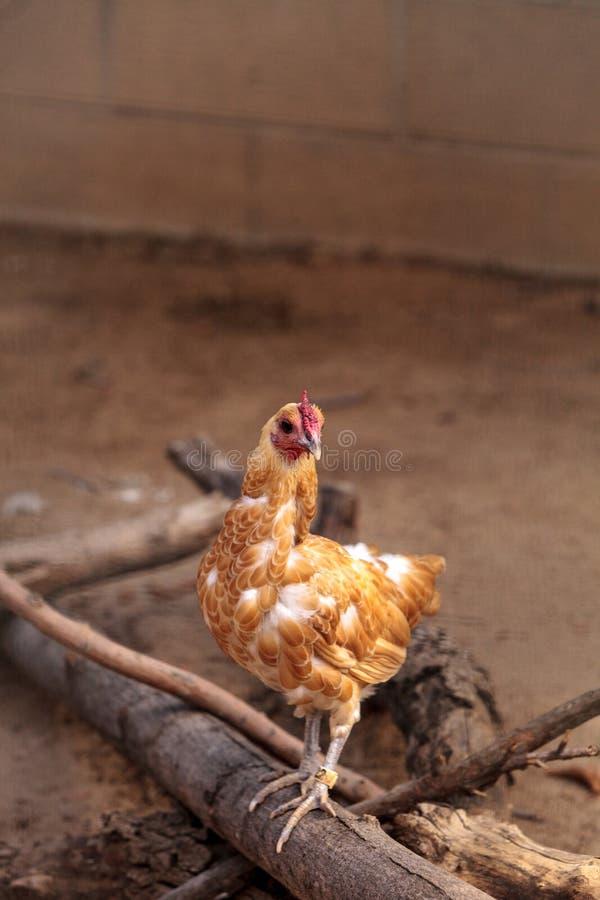 Покрашенный буйволовой кожей цыпленок Cochin стоковые изображения rf