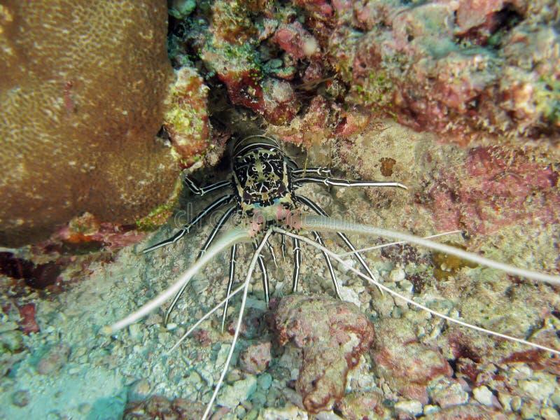 покрашенный омар spiny стоковые фотографии rf