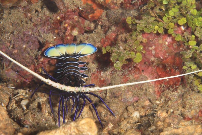 покрашенный омар spiny стоковая фотография