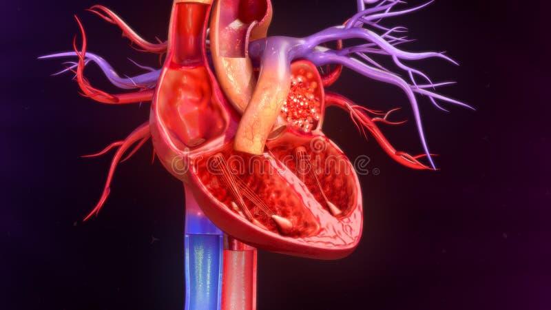 покрашенный оригинал иллюстрации сердца руки анатомирования людской стоковая фотография