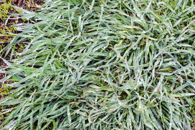 Покрывают траву весны с обильными дождевыми каплями Зеленая трава после того как дождь конец-вверх Предпосылка, текстура зеленой  стоковые изображения