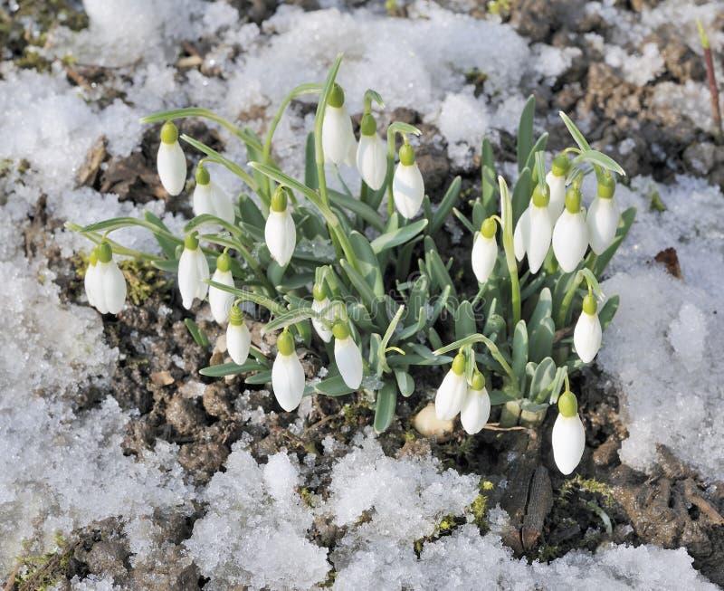 покрытые вытекая земные snowdrops снежка стоковая фотография