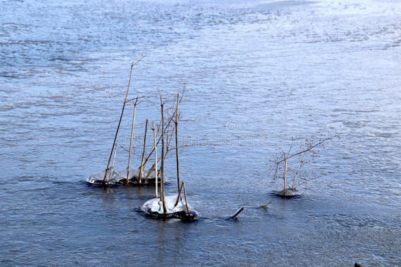 покрытые Лед тростники в озере на луге стоковое фото